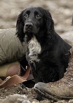 Preparing for a day in the field! Working cocker spaniel.