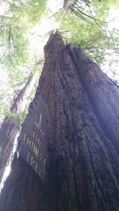 Trinity tree.  Redwood