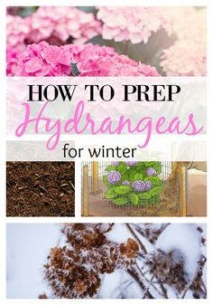 winter garden How To Prep Hydrangeas for Winter - 6 Steps. these 6 easy steps to winterize your hydrangeas and keep them healthy. Pruning Hydrangeas, Hydrangea Landscaping, Planting Flowers, Flower Gardening, Flowers Garden, Landscaping Ideas, Garden Landscaping, Fall Planting, Landscaping Company