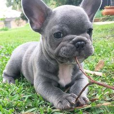 """Outstanding """"French bulldog puppies"""" info is offered on our web pages. Check it out and you wont be sorry you did. Cute Little Puppies, Cute Little Animals, Cute Dogs And Puppies, Cute Funny Animals, Baby Dogs, Doggies, Adorable Puppies, Merle French Bulldog, Cute French Bulldog"""