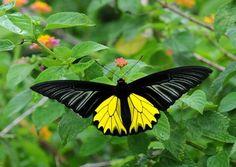 ~Golden Birdwing (Troides aeacus) found in Indonesia - northern Maluku~