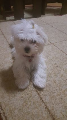 Malteser, Dogs, Animals, Pictures, Animales, Animaux, Pet Dogs, Doggies, Animal