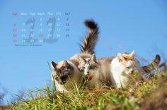 かご猫 〜cafe:2016年11月カレンダー〜  柊の 着袴の勇み 七五三…霜月