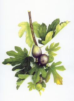 (by Vincent Jeannerot) Watercolor Fruit, Fruit Painting, Botanical Drawings, Botanical Prints, Art Floral, Deco Fruit, Illustration Blume, Fruit Art, Nature Prints