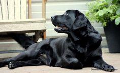 Foto's   Oldambster Labrador Heem