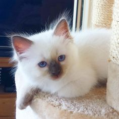 My kitten Kaipo <3 the little boy is 9 weeks old on this photo. Chocolate point ragdoll