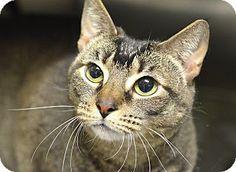 Philadelphia, PA - Domestic Shorthair. Meet SWEETIE, a cat for adoption. http://www.adoptapet.com/pet/14155027-philadelphia-pennsylvania-cat