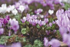 Cyclamen hederifolium by Sharon Pearson