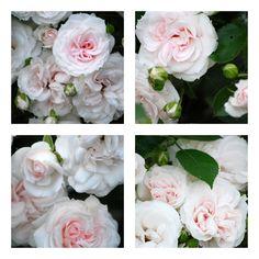 Aspirin Rose ou la rose porcelaine Haut 60 à 70 cm, petite fleur, blanc, remontant. Sa floraison de magnifiques petites fleurs, bien turbinées commence légèrement rosé pour se terminer au blanc immaculé, son feuillage est dense et brillant, très sain. Vous pouvez installer ce rosier en bordure ou en couvre sol.
