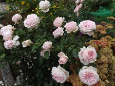 Photo of the rose 'Wellenspiel ' Rose Photos, Floral Wreath, Wreaths, Plants, Roses, Tea, Decor, Waves, Games