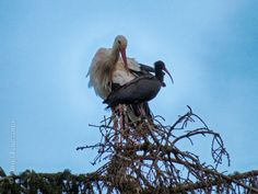 Stork, Bald Eagle, Heron