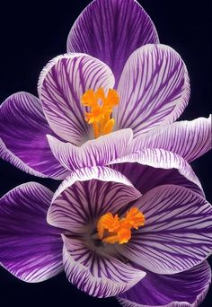 Crocus by Warren Krupsaw... Comment which flowers you would like to see more of!