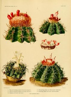 The Cactaceae : descriptions and illustrations of plants of...