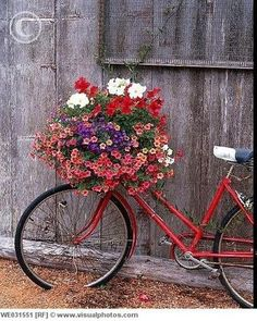 The red, purple and white flowers are taking over this lovely red bike.