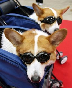 Corgis wearing sun glasses appear at the New Year's Party