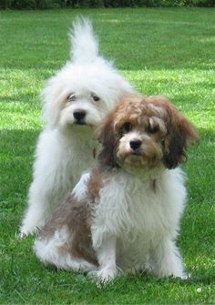 Cavachons- cross between cavalier king charles spaniel and bichon