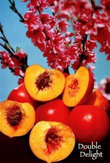 Desert loving fruit tree - Arctic Star Nectarine.