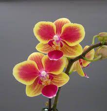 orchides - Buscar con Google