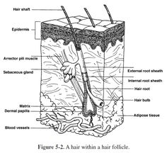 Ch 5: The Integumentary System