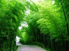 The Shunan Bamboo forest in Sichuan province, China