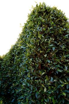 indian laural fig privacy hedge - like dark foilage Privacy Hedge, Privacy Plants, Tropical Landscaping, Landscaping Plants, Garden Fencing, Garden Pool, Evergreen Trees For Privacy, Garden Dividers, Landscape Design