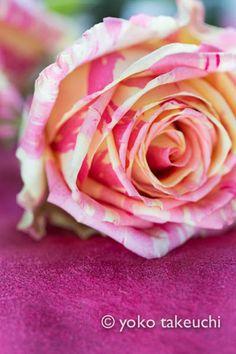 Rose Fiesta +