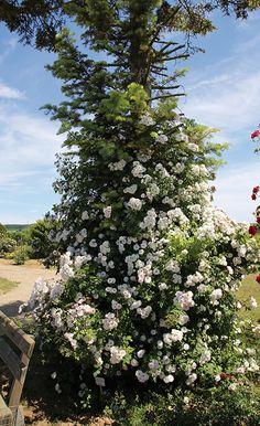 Great Ramblerrose uPaul s Himalayan Musk u Stark wachsende Ramblerrose Kleine rosettenf rmig