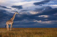 The Masai Giraffe by Mario Moreno
