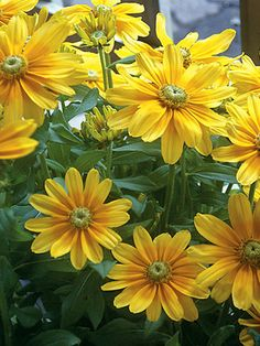Rudbeckia Prairie Sun | Good for Cut Flowers OK in Containers Attracts Butterflies Deer Resistant Blooms for 4 Weeks or More For a Sunny Spot Tried & True / Good for Beginners Seaside/Salt Tolerant Attracts Birds