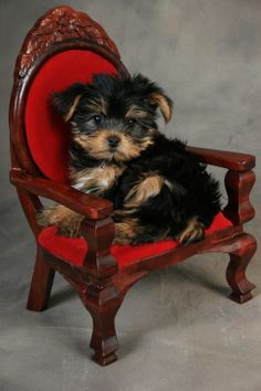 Yorkie Portraits  This really is my dog when he was little I got him from this breeder :)AKA: pooey