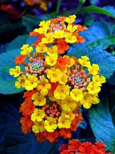 Lantana all summer bloom. These grew wild in TX fields prairies flowers Lantana all summer bloom. These grew wild in TX fields prairies flowers The post Lantana all summer bloom. These grew wild in TX fields prairies flowers appeared first on Diy Flowers. Exotic Flowers, Amazing Flowers, My Flower, Yellow Flowers, Beautiful Flowers, Colorful Flowers, Sun Flowers, Beautiful Gorgeous, Summer Flowers