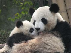 All sizes   Qi Zhen and one of the twins - Chengdu Panda Base, March 2012   Flickr - Photo Sharing!