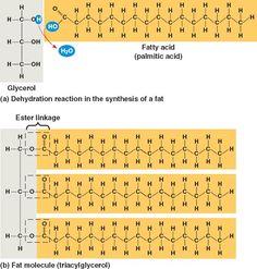 lipid Structure   (triglyceride)