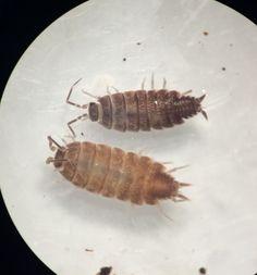 Crustacea - Ordem Isopoda