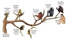 Monkey vs Apes (no tail): gibbon vs orangutang vs gorilla vs chimpanzee vs human