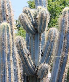 PlantFiles Pictures: Blue Columnar Cactus, Facheiro, Facheiro Azul, Mandacarú de Facho (Pilosocereus pachycladus) by cactus_lover Flowers Nature, Beautiful Flowers, Cactus Identification, Planter Ideas, New Growth, Canary Islands, Begonia, Cactus Plants, Planting Flowers