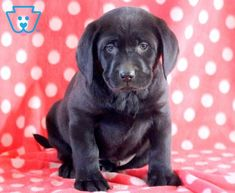 Tanner | Labrador Retriever - Black Puppy For Sale | Keystone Puppies Baby Puppies For Sale, Cute Dogs And Puppies, Doggies, Black Puppy, Black Lab Puppies, Cute Babies, Labrador Retriever, Pets, Animals