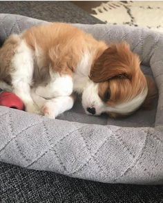 Likes, 34 Kommentare - Cavalier King Charles 🐶❤ ( . - Likes, 34 Kommentare – Cavalier King Charles 🐶❤ ( … – süße - King Charles Puppy, Cavalier King Charles Dog, Cavalier King Spaniel, Cute Little Animals, Cute Funny Animals, Spaniel Puppies, Cocker Spaniel, Cute Dogs And Puppies, Doggies
