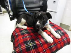 puppy is an adoptable Labrador Retriever, Hound Dog in Shasta Lake, CA This very sweet male puppy was surrendered on 1/7/16 with two of his brothers. He is a labrador ... ...Read more about me on @petfinder.com