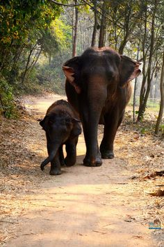 A male elephant calf will stay with his mother till about age 14 at which point he will reach sexual maturity and leave his mother's herd for the remainder of his life.