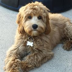 One our beautiful fur babies, living in California. Goldendoodle Grooming, Puppy Grooming, Cockapoo Puppies, Mini Goldendoodle, Cute Puppies, Cute Dogs, Labradoodles, Goldendoodles, Cavapoo