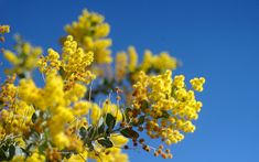 Acacia | Flowers & Symbolism - Tattoo Ideas & Inspiration | As a symbol, the Acacia flower is most often associated with honor, resurrection and immortality.