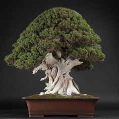 The upright styles in bonsai are one of the most popular and easy styles for beginners. Learn all about the two main upright styles in bonsai growing. Bonsai Art, Bonsai Plants, Bonsai Garden, Garden Planters, Ikebana, Juniper Bonsai, Bonsai Styles, Miniature Trees, Potted Trees