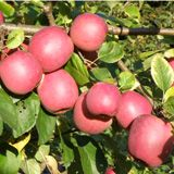 Enterprise Apple / M26 {Fruit ripens late October. It is an excellent keeper and is immune to scab and resistant to fire blight, cedar apple rust and mildew.}