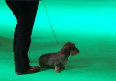 29 days to go. Mini Wire-Haired Dachshund, Crufts 2015