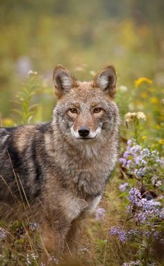 """ Eastern Coyote by © Brittany Crossman """