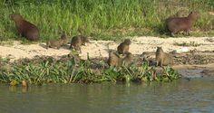 As capivaras, roedores semiaquáticos abundantes no Brasil.