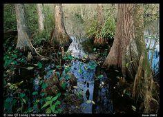 everglades cypress swamp | large bald cypress taxodium distichum and cypress knees in dark