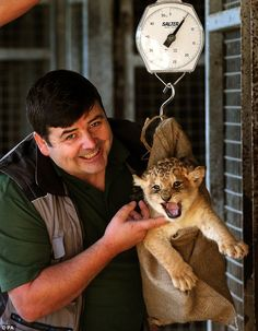 I'm a ferocious beast, get me out of here! New lion cub is less than happy to have her first weigh-in