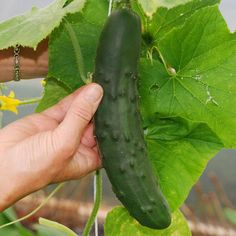 Cucumber Marketmore Great for Making Pickles theseedhouse 200 Seeds Cucumber Plant, Cucumber Seeds, How To Make Pickles, Making Pickles, Rainbow Chard, Gardens Of The World, Free Plants, Black Seed, Organic Matter